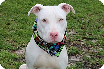 American Staffordshire Terrier Puppy for adoption in Ft Myers Beach, Florida - I want to be loved!!