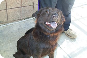 Schipperke Mix Dog for adoption in Copperas Cove, Texas - Tia