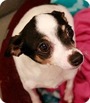 Chihuahua Dog for adoption in Wallingford Area, Connecticut - Toby