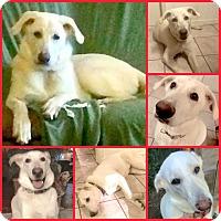 Adopt A Pet :: MAYA - Inverness, FL