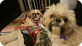 Shih Tzu Mix Dog for adoption in Urbana, Ohio - Tucker Turner
