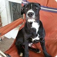Adopt A Pet :: Labradoodle Boy - Pompton Lakes, NJ
