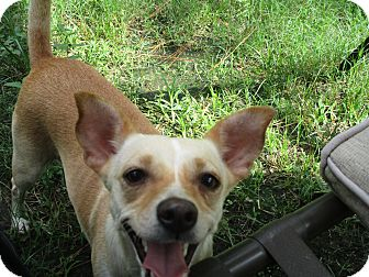 Chihuahua/Corgi Mix Dog for adoption in Columbus, Ohio - ABBEE