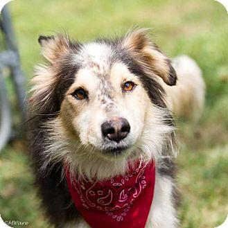 Australian Shepherd Dog for adoption in Ashland, Kentucky - Wolfie