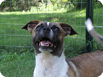 Chihuahua/Pug Mix Dog for adoption in Lafayette, New Jersey - Patty Sue
