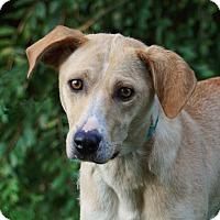 Adopt A Pet :: *Sasha - PENDING - Westport, CT