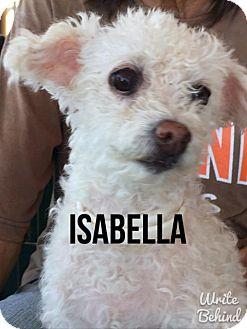 Poodle (Miniature)/Bichon Frise Mix Dog for adoption in Glendale, Arizona - ISABELLA