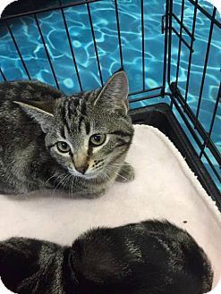 Domestic Shorthair Kitten for adoption in Mansfield, Texas - Mabel