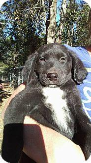 Rottweiler/Labrador Retriever Mix Puppy for adoption in Ellaville, Georgia - Zander (adoption pending)