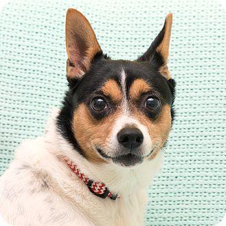 Rat Terrier Dog for adoption in Westfield, New York - Pepper