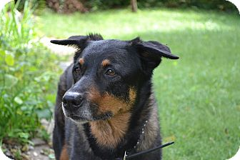 Cattle Dog/Rottweiler Mix Dog for adoption in Manhattan, Kansas - Dakota - pending