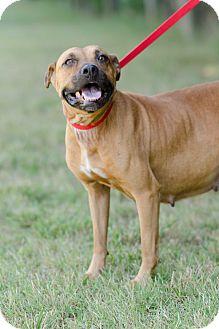 American Staffordshire Terrier/Boxer Mix Dog for adoption in Seneca, South Carolina - Cherokee $125