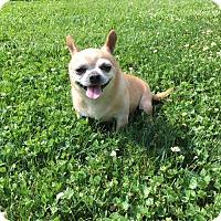 Adopt A Pet :: Macho - Villa Park, IL