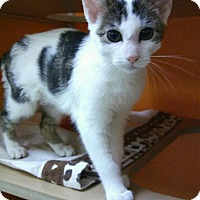 Domestic Shorthair Kitten for adoption in Elyria, Ohio - Coco