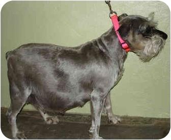 Schnauzer (Miniature) Dog for adoption in Leoti, Kansas - Sadie
