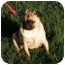 Photo 3 - Pug Puppy for adoption in Rigaud, Quebec - Simba