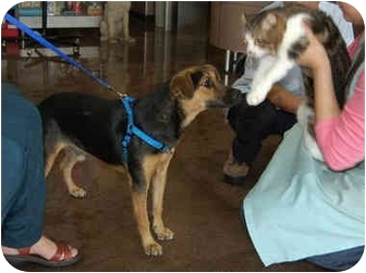 German Shepherd Dog/Hound (Unknown Type) Mix Puppy for adoption in Concord, California - Justice