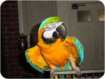 """Macaw for adoption in Vancouver, Washington - Ricky & """"JR"""""""