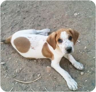 Australian Cattle Dog/Beagle Mix Puppy for adoption in Tucson, Arizona - Sherman