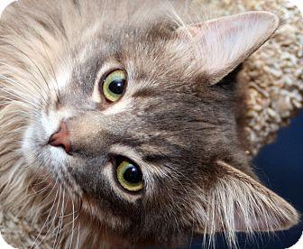 Domestic Longhair Cat for adoption in Royal Oak, Michigan - SID