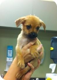 Boykin Spaniel Mix Puppy for adoption in Columbus, Georgia - Grumpy 0f0c