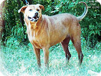 Chow Chow/Shar Pei Mix Dog for adoption in St. James, Missouri - Chai
