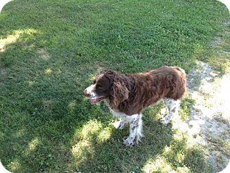 English Springer Spaniel Dog for adoption in Chewelah, Washington - Richochet