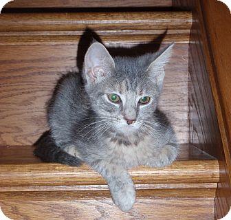 Domestic Shorthair Kitten for adoption in Carlisle, Pennsylvania - Melanie