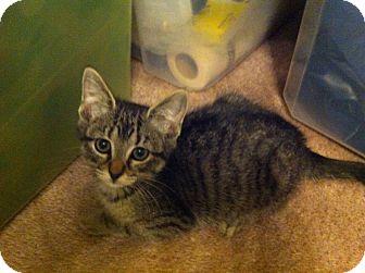 Domestic Shorthair Kitten for adoption in Austin, Texas - Maggie