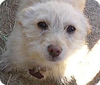 Scottie, Scottish Terrier/Terrier (Unknown Type, Small) Mix Puppy for adoption in Austin, Texas - Tootsie