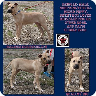 American Pit Bull Terrier/Shepherd (Unknown Type) Mix Puppy for adoption in Evansville, Indiana - Kringle