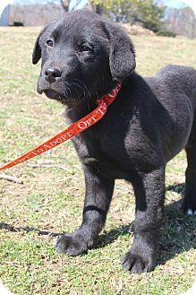 Labrador Retriever/Retriever (Unknown Type) Mix Puppy for adoption in Hagerstown, Maryland - Gaston