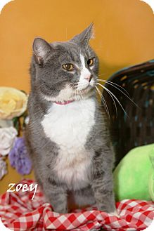 Domestic Shorthair Cat for adoption in Daytona Beach, Florida - Zoey