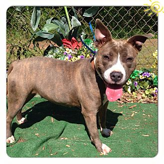 Pit Bull Terrier Mix Dog for adoption in Marietta, Georgia - DAISY- See Video!