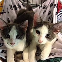 Adopt A Pet :: Chong - Byron Center, MI