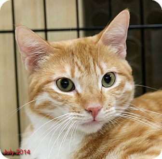 Domestic Shorthair Cat for adoption in Encino, California - SPARKY ADOPTED