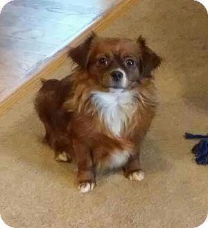 Chihuahua Mix Dog for adoption in Cincinnati, Ohio - Cocoa