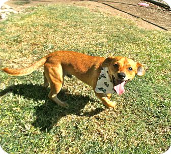 Dachshund/Terrier (Unknown Type, Small) Mix Dog for adoption in El Cajon, California - Hickory
