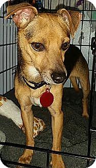 Dachshund Mix Dog for adoption in Detroit, Michigan - Danny
