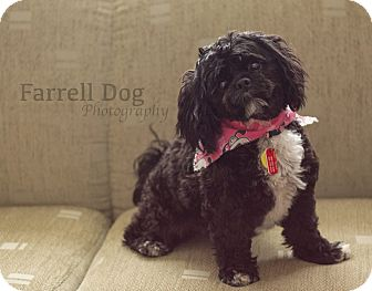 Havanese Mix Dog for adoption in Toronto, Ontario - Eve