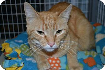 Domestic Shorthair Cat for adoption in Edwardsville, Illinois - Coin