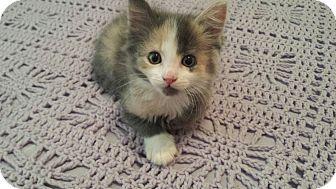Domestic Shorthair Kitten for adoption in Yukon, Oklahoma - Bev's Persephone
