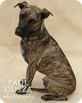 Labrador Retriever/Plott Hound Mix Dog for adoption in Dallas, Texas - Mocha