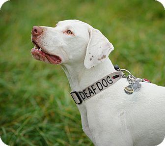 English Pointer/Pointer Mix Dog for adoption in Wood Dale, Illinois - Bjorn- ADOPTION PENDING!