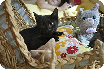 Domestic Shorthair Kitten for adoption in New Smyrna Beach, Florida - INKY (Purrs like a dove)
