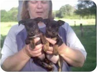 Manchester Terrier/Miniature Pinscher Mix Puppy for adoption in Higginsville, Missouri - Kodo and Podo