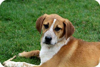 St. Bernard/Labrador Retriever Mix Puppy for adoption in Liberty Center, Ohio - Cindy
