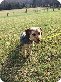 Poodle (Miniature)/Beagle Mix Dog for adoption in Covington, Virginia - Rusty