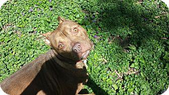 Terrier (Unknown Type, Medium)/Catahoula Leopard Dog Mix Dog for adoption in Lafayette, Indiana - Reggie