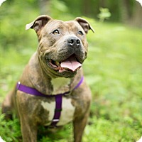 Adopt A Pet :: Athena - Reisterstown, MD